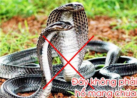 rắn hổ mang chúa