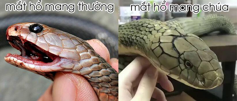 rắn hổ mang chúa và hổ mang thường