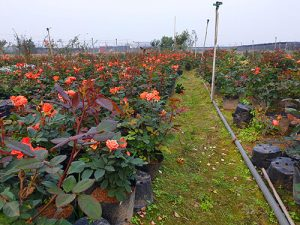 Hoa hồng chậu