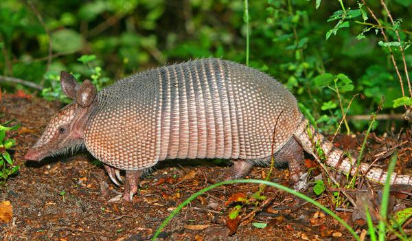 Tatu - Loài động vật có lớp vỏ cứng nhất
