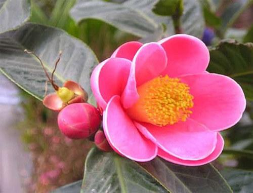 Hoa Hải đường hồng