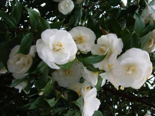 Đặc điểm hoa hải đường, đặc tính