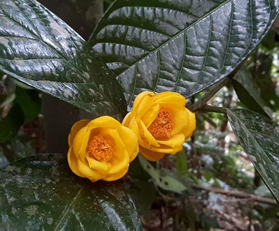 Hoa hải đường vàng
