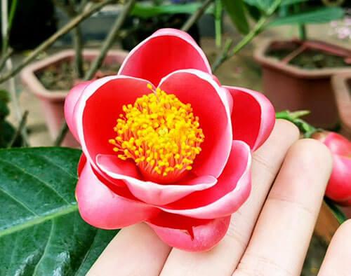 Hình ảnh bông hoa hải đường đẹp