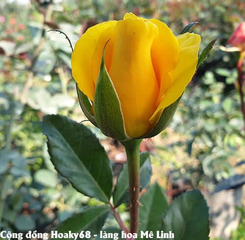 Hoa hồng vàng 1 cành 1 bông đẹp