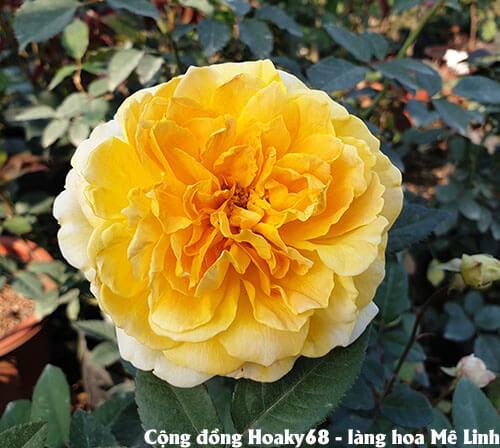 Hoa hồng ngoại ivor -  hoa hồng leo