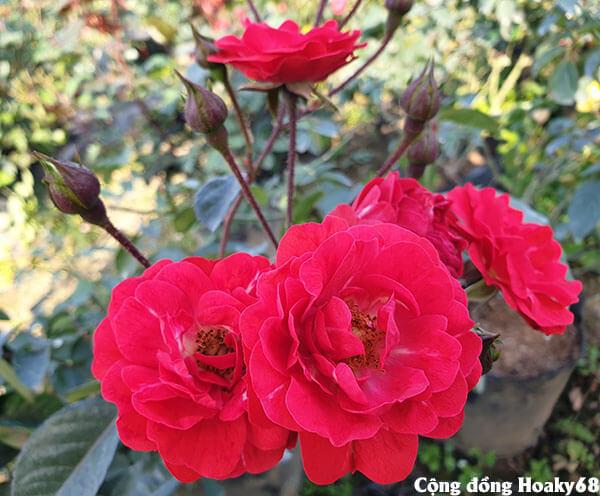 Hoa hồng tố nữ đẹp - Hoa hồng lửa đẹp