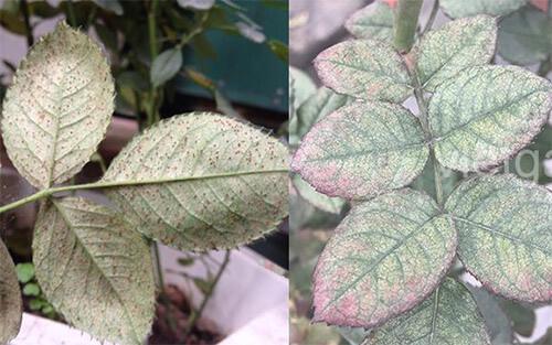 Hoa hồng chậu bị nhện đỏ rụng lá