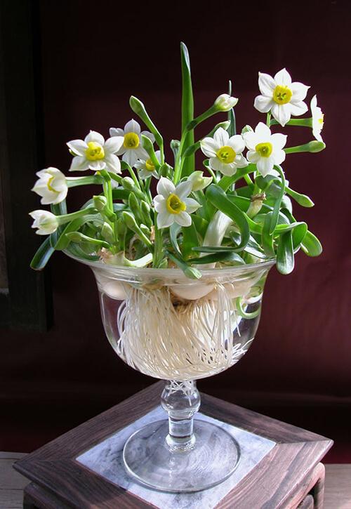 Hoa Thủy Tiên màu trắng