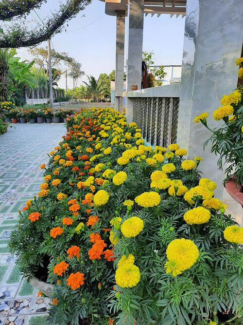 Hoa Vạn Thọ chơi Tết đẹp