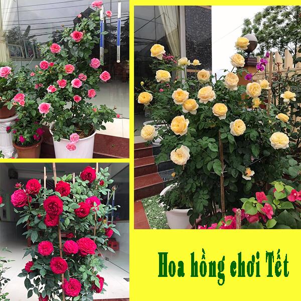 Hoa hồng chơi Tết đẹp, lâu tàn