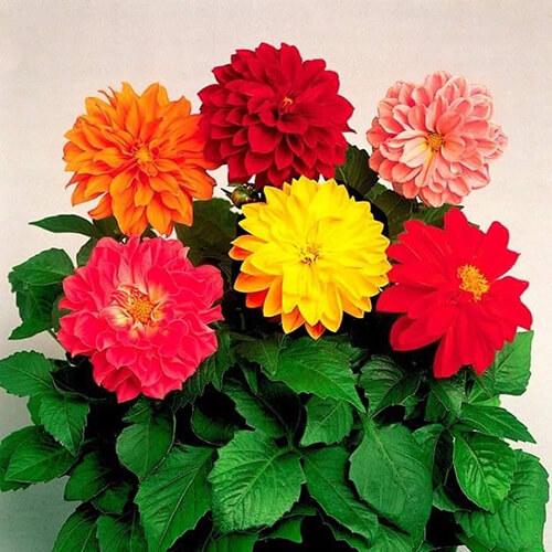 Hoa Thược dược chơi Tết đẹp không tỳ vết