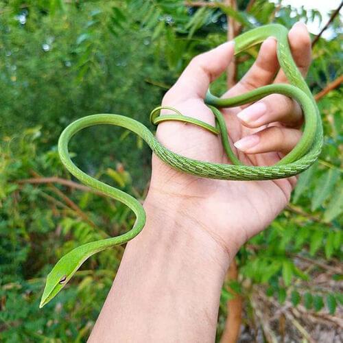 Rắn lục kim, rắn roi