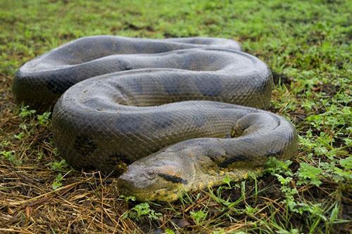 Trăn Anaconda xanh Nam Mỹ