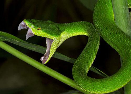 Răng nanh rắn lục đuôi đỏ rất dài
